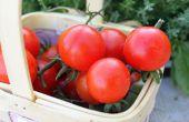 How to Grow Sweet 100 Cherry Tomaten