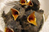 Wat Baby vogels eten?