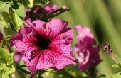 Wat buiten hangende tweezaadlobbige planten volle zon & warmte kan verwerken?