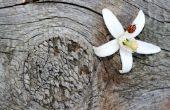 De betekenis van een bloem van oranjebloesem