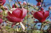 Mijn kleine Gem magnoliaboom verliest bladeren