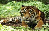 How to Build een Tiger Habitat Diorama