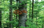 Kunnen Pine bomen groeien in de tropen?