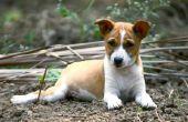Hoe te een getrokken spier in een hond behandelen