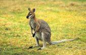Zijn alle soorten kangoeroes nachtelijke?