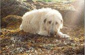 Ademhalingsproblemen bij oude honden