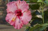 Hoe een Hibiscus Plant snoeien