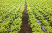 How to Grow Romaine Sla