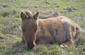 Hoe de behandeling van longontsteking in een paard