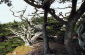 Soorten bomen met gedraaide Trunks
