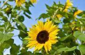 Wat eet zonnebloem planten?