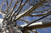 Ziekten van de boom trillen Aspen