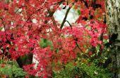 Hoe diep gaan de wortels van een dwerg Japanse esdoorn in de grond?