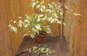 Hoe Trim een Ficus boom