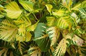 Hoe de zorg voor bonte Ficus bomen