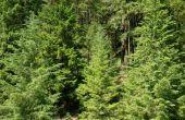 Wat Bugs aanvallen en doden van groenblijvende bomen?