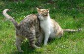 How to Make zelfgemaakte vlo Shampoo voor katten