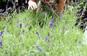 How to Grow een lavendel Plant buitenshuis