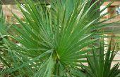 Hoe de zorg voor een Cataractarum Palm