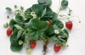 Wat klimaat heb ik nodig om te groeien aardbeien In?