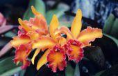 Hoe orchideeën transplantatie