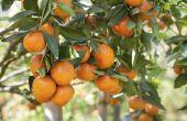 Wat is de snelste groeiende fruitboom?