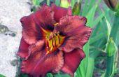 How to Grow Daylilies van bloemetjes