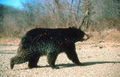 Hoe om te doden van een zwarte beer met een strik