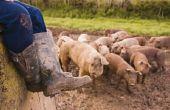 Hoe een Baby varken gebraden