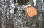 Hoe te snoeien van Aspen bomen