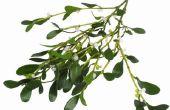 De wetenschappelijke naam van de Amerikaanse Maretak Plant