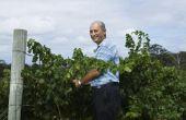 Hoe te snoeien van wijnranken in een druif Arbor
