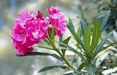 How to Control Oleander bladluizen