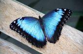De betekenis van een blauwe vlinder