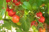 De beste tijd om te planten tomaten in Texas
