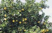 Wat te doen als een Grapefruit boom werd blootgesteld aan bevriezing