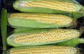 How to Grow suikermaïs in Nieuw-Zeeland