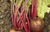 Hoe u kunt besturen Root maden in radijs, rapen & Rutabagas