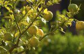 Hoe te snoeien citroenbomen