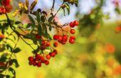 Berry Plant identificatie