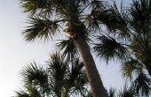 Kool Palm Tree feiten