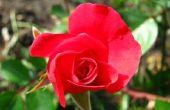 Beschrijving van de Plant Rose