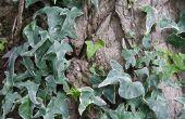 Snelst groeiende Ivy Vines
