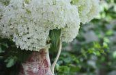 Hoe een hortensia 'Annabelle' snoeien