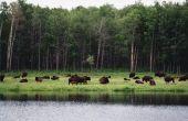 How to Raise van Buffalo