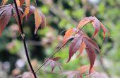 Hoe de zorg voor een dwerg Japanse esdoorn-boom