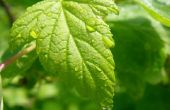 Zwarte bladeren over gewasbeschermingsmiddelen waarvoor krachtens