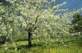 Giftige Wild Cherry bomen in Noord-Amerika