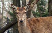 How to Keep herten uit de buurt van Arborvitae