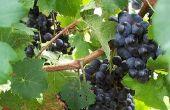 How to Rid van wijnstokken van ongedierte